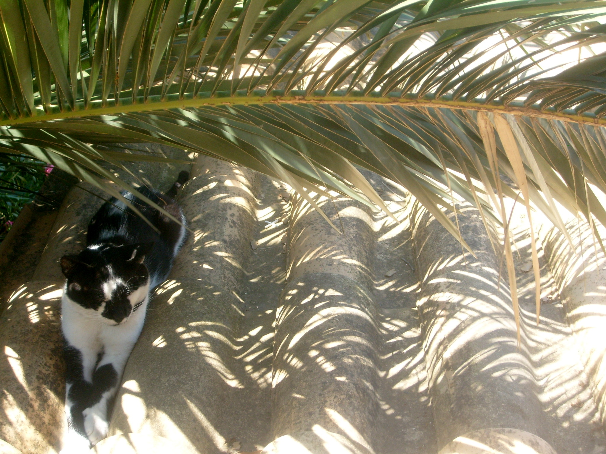 a cat lying in the shadow of a palm frond on a corrogated roof