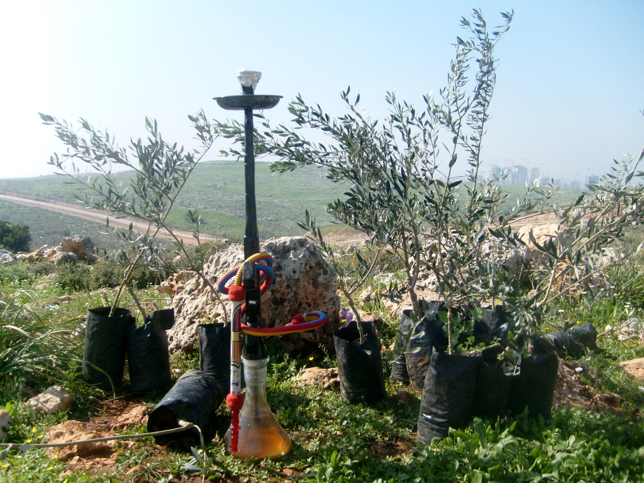 a hubbly bubbly and an olive tree sapling, on the hills of the West Bank